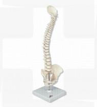 Modelo anatómico Articulação da coluna vertebral