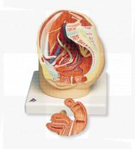 Modelo anatómico Aparelho reprodutor feminino